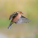 Chaffinch ~ In flight by M.S. Photography/Art