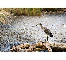 Night Heron, Immature Photographic Print