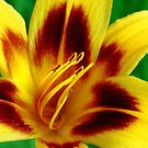 Yellow and Red Daylily by Janice Carter