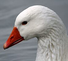 Closeup of Goose by karina5