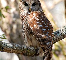Barred Owl by Kathy Baccari