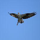 Osprey's Big Catch by DARRIN ALDRIDGE