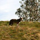 Coyote In the Bush by DARRIN ALDRIDGE