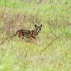 Coyote In the Wild by DARRIN ALDRIDGE