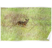 Coyote In the Wild Poster