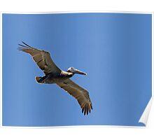 Pelican Soaring Close Poster