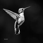 Black and White Hummingbird II by Christina Rollo