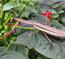Chinese Praying Mantis (Tenodera sinensis) Full View by Linda Gleisser