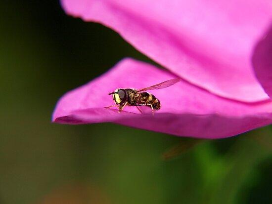Bee resting on petal by Arve Bettum