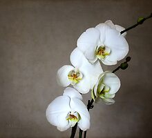 White Orchid by Milena Ilieva