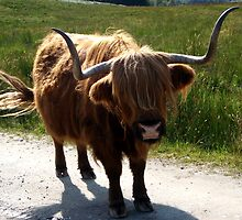 Highland Cow  by Gemma Cooles