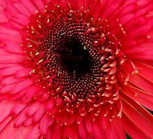 Gerbera Daisy by webetilin
