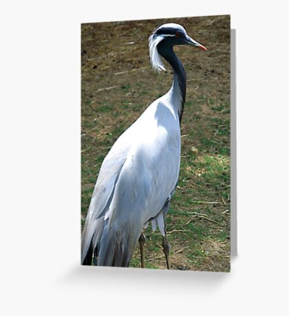 Demioselle Crane Greeting Card