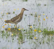 Wading Ruff and Buttercups by Nigel Tinlin