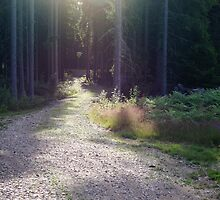 sunlight entering the woods by sago