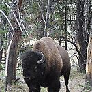 Bison 1 © by jansnow