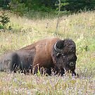 Bison 2 © by jansnow