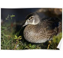 Female Wood Duck Poster