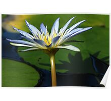 Lily of the Pond Poster