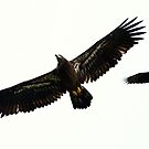 Juvenile Bald Eagle and Common Crow by Bill McMullen