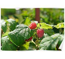 Raspberry berries on bush Poster
