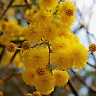 Wattle in Baldivis by kalaryder