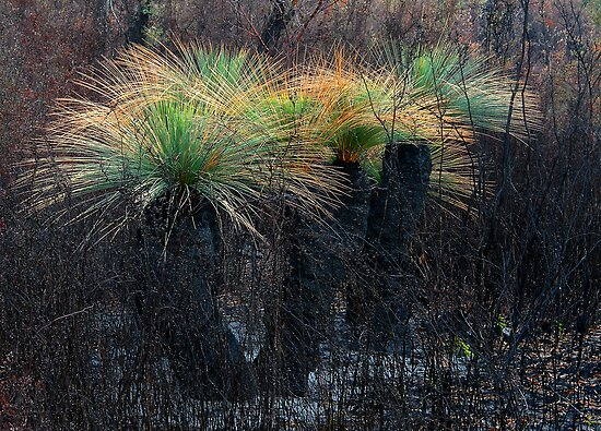 Grass Trees by Kip Nunn