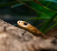 Coastal Taipan by Jason Asher