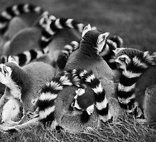 Ring Tailed Lemur Family Group Cuddling by Simon Jennings