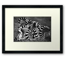 Ring Tailed Lemur Family Group Cuddling Framed Print