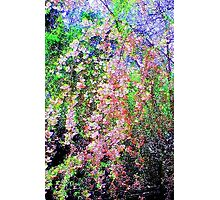 Weeping Cherry Photographic Print