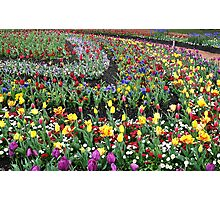 Colourful Curved Tulip beds Photographic Print
