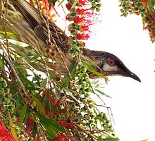 Red Wattle Bird ~Do You Mind?, I'm Trying To Eat... by Toni Kane