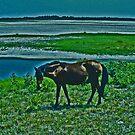 Wild Horse - Assateague Island, Virginia by michael6076