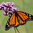 Beautiful Monarch by vette