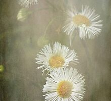 Frosted Fleabane by Lisa Holmgreen