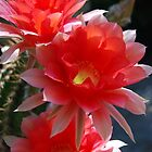 Late Season Echinopsis by Ron Hannah