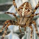 Garden Spider by Beatminister