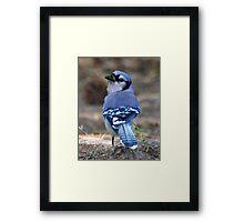 Looking Back Bluejay Framed Print