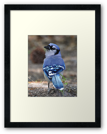 Looking Back Bluejay by Kathy Baccari