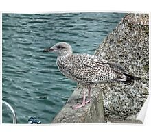Young Gull At The Harbour Poster