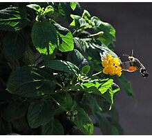 Hummingbird Hawk Moth. Photographic Print