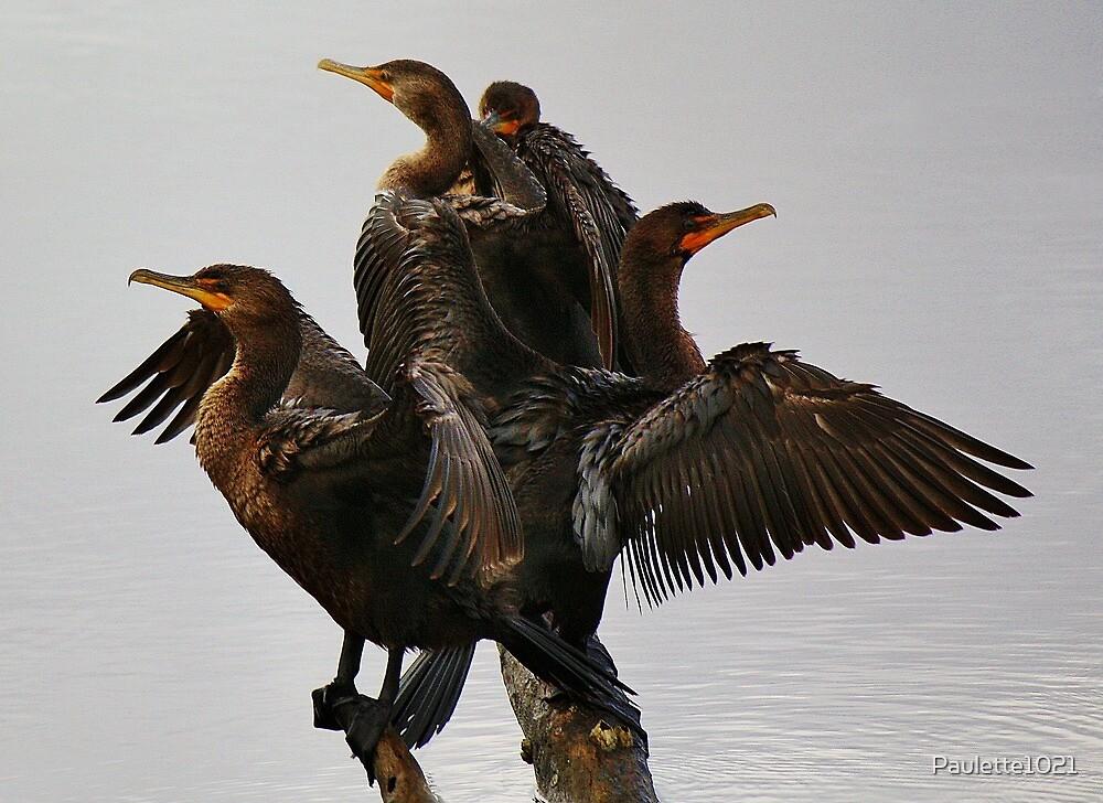 Beautiful Cormorants by Paulette1021