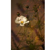 Cosmea47  Photographic Print