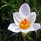 White Crocus Planted in the Lawn by Kenneth Keifer