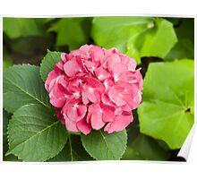 Pink Hydrangea Blossom Poster