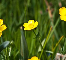 Buttercups by Wealie