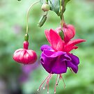 Fuchsia with Dazzling Deep Pink and Purple Blooms by Kenneth Keifer