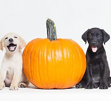 Lab Puppies Next To Pumpkin - Animal Rescue Portraits by AndreaBorden