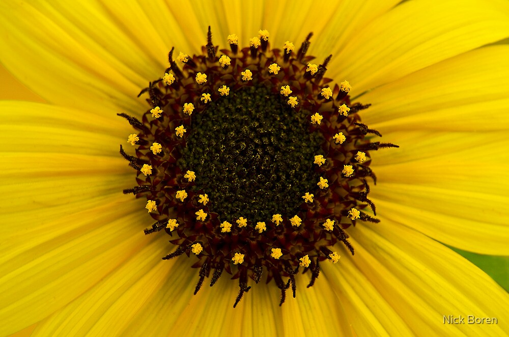 Southern Idaho Sunflower by Nick Boren